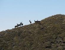 Deer Mob