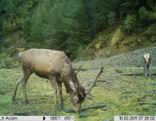 Trail Cam small stag