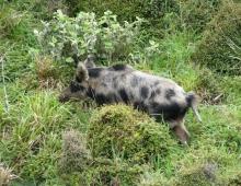 Rimutaka Boar
